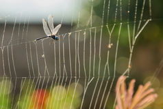Dragonfly with Cobweb. Dragonfly has flown attached to the webs of spiders Stock Photo