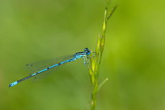 Dragonfly coenagrion Royalty Free Stock Image