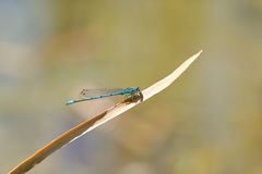 Dragonfly coenagrion Royalty Free Stock Photography