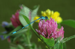 Dragonfly Coenagrion puella Royalty Free Stock Photography