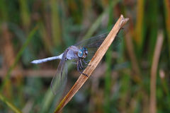 Dragonfly. Colorful dragonfly (Anisoptera) on a river bank Royalty Free Stock Images