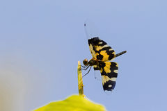Dragonfly Common picture wing with yellow black transparency w Royalty Free Stock Images