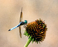 Dragonfly on coneflower Stock Photos