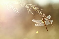 Dragonfly in contrejour lighting Royalty Free Stock Image