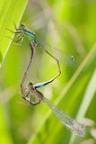 Dragonfly copula Royalty Free Stock Image