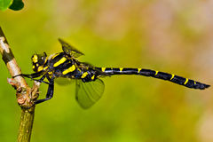 Dragonfly - Cordulegaster boltonii Royalty Free Stock Photography