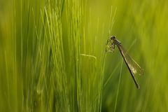 Dragonfly and Corn Stock Photography