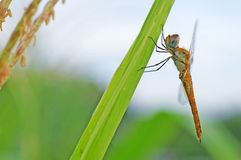 Dragonfly on corn field. Dragonfly is catching on the corn leaf Stock Images