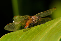 Dragonfly on Corn Leaf Royalty Free Stock Photo