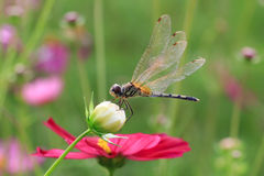 Dragonfly on a cosmos flower Royalty Free Stock Image