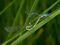 Dragonfly couple Royalty Free Stock Images