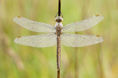 Dragonfly covered with dew drops Royalty Free Stock Images