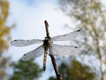 Dragonfly covered with dewdrops-3 Stock Photos