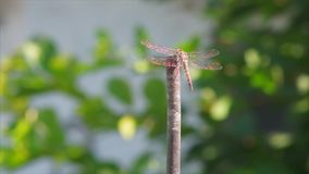 Dragonfly with crystal gold wings is stock video footage