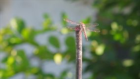 Dragonfly with crystal gold wings is stock footage