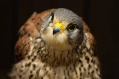 Dragonfly - curious falcon peregrin bird Royalty Free Stock Photography
