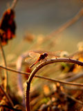 Dragonfly Curves. A beautiful red dragonfly sits on a twisted and curvy twig with spikes on it Royalty Free Stock Image