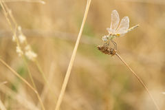 Dragonfly czekanie Zdjęcia Royalty Free