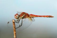 dragonfly czerwień zdjęcie stock