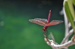 dragonfly czerwień Zdjęcie Royalty Free