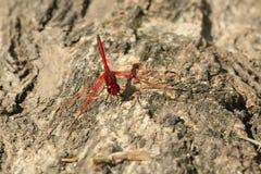 dragonfly czerwień obraz royalty free