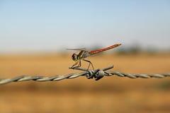 dragonfly czerwień Obrazy Stock