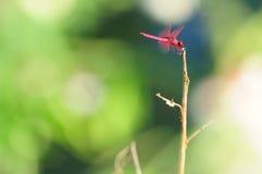 dragonfly czerwień Obrazy Royalty Free