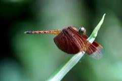 dragonfly czerwień Zdjęcia Royalty Free
