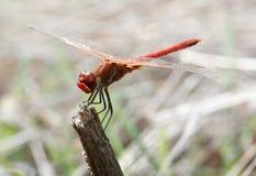 Dragonfly czerwień - Sympetrum striolatum Fotografia Royalty Free
