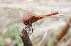 Dragonfly czerwień - Sympetrum striolatum Zdjęcia Stock