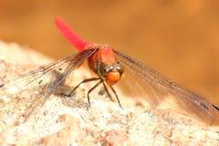 dragonfly czerwieni kamień Zdjęcia Royalty Free