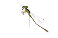 Dragonfly damselfly Royalty Free Stock Photos