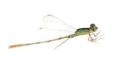 Dragonfly damselfly Royalty Free Stock Photo