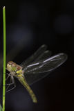 Dragonfly, damselfly Obrazy Stock