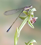 Dragonfly (damselfly) Ischnura elegans ebneri (fem. Dragonfly (damselfly) elegans ebneri (female) on a plant stock photos