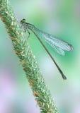 Dragonfly (damselfly) Ischnura elegans ebneri (fem. Dragonfly (damselfly) Ischnura elegans (female) on a plant royalty free stock image