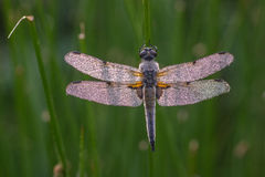 Dragonfly,damselfly. Dragonfly in the nature closeup royalty free stock photo