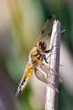 Dragonfly,damselfly. Dragonfly in the nature closeup stock photos