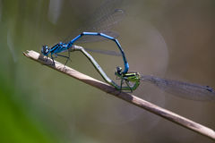 Dragonfly,damselfly. Dragonfly in the nature closeup royalty free stock photos