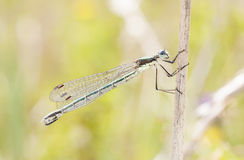 Dragonfly or damselfly on a plant royalty free stock photo