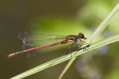 Dragonfly. Damselfly sits on a plant royalty free stock photo