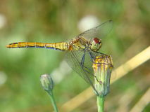Dragonfly on dandelion. Yellow and green dragonfly sitting on a budding dandelion royalty free stock photo