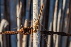 Dragonfly, Danube delta, Rumunia zdjęcie stock