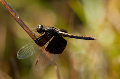 Dragonfly with dark wings Royalty Free Stock Photos