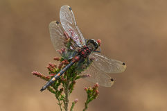 dragonfly darter смотрел на белизну Стоковое Фото