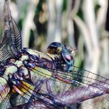 Dragonfly. Dayout eyes  iOS click Stock Images
