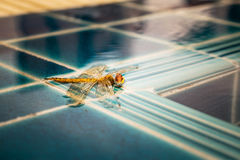 Dragonfly. The dead body of dragonfly on the pool tile Royalty Free Stock Photo
