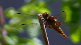 Dragonfly defecates Royalty Free Stock Photos