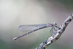 Dragonfly Defining Serenity Royalty Free Stock Photos