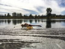 Dragonfly. Deschutes river with this little lovely dragon Royalty Free Stock Photography